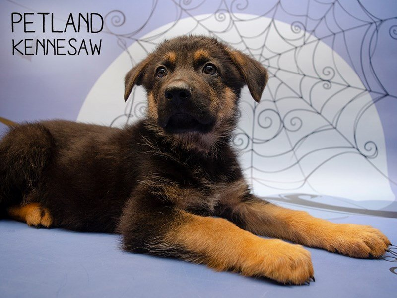 German Shepherd-Male-Black & Tan-2503134-Petland Kennesaw