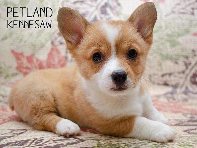 Pembroke Welsh Corgi-Female-RED-2509881-Petland Kennesaw