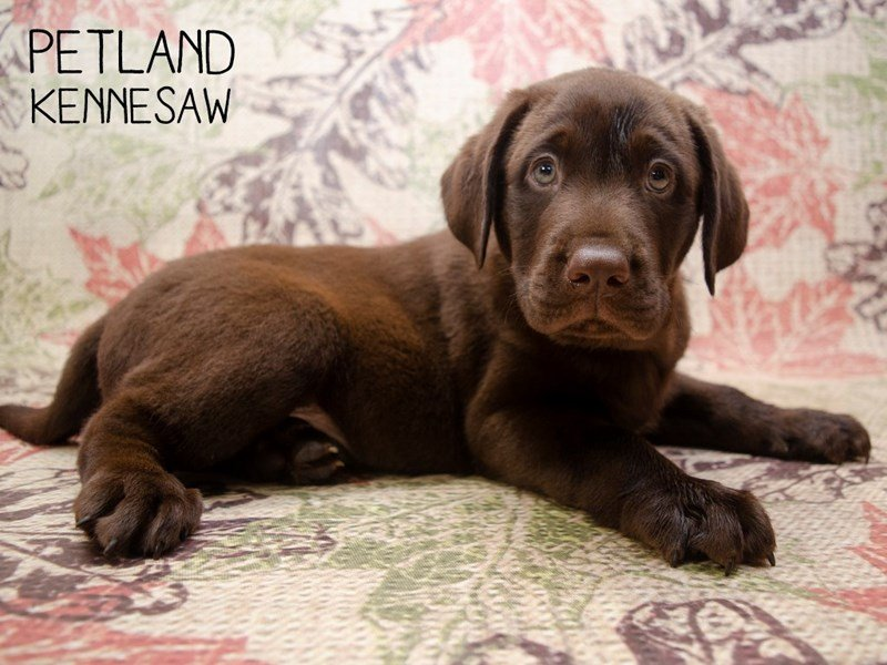 Labrador Retriever-Male-Chocolate-2509724-Petland Kennesaw