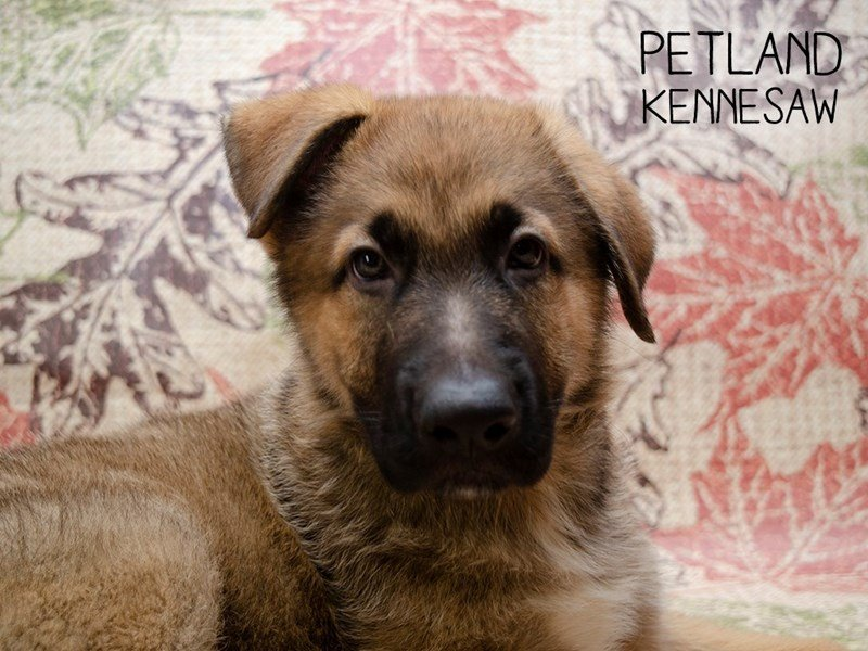 German Shepherd-Male-Sable-2509611-Petland Kennesaw