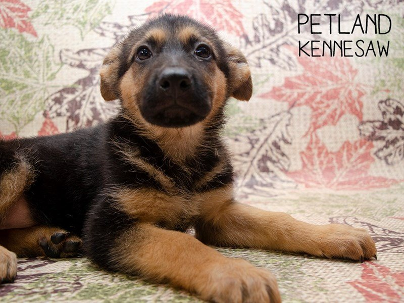 German Shepherd-Female-Black & Tan-2509527-Petland Kennesaw