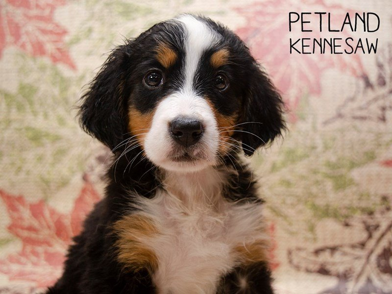 Bernese Mountain Dog-Female-Tri Color-2509500-Petland Kennesaw