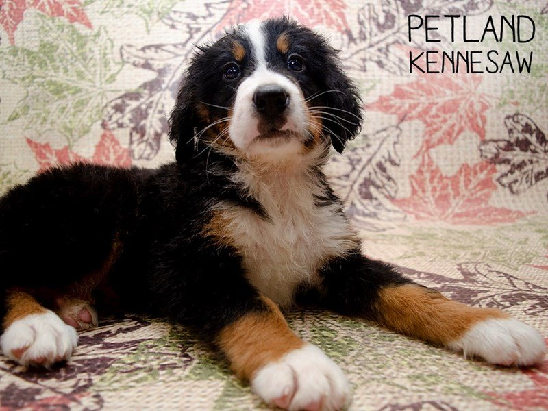 Bernese Mountain Dog-Male-Tri Color-2509498-Petland Kennesaw