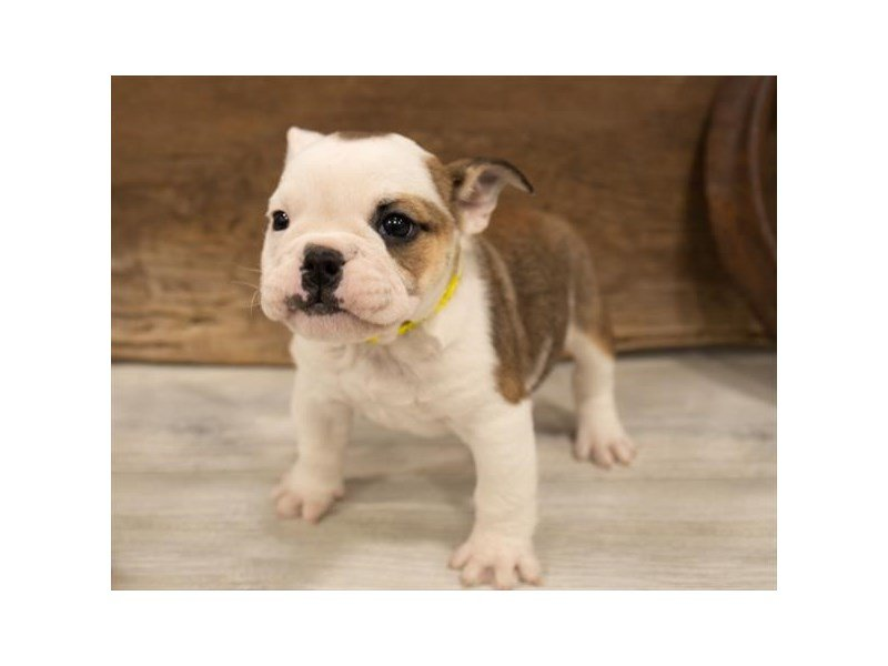 English Bulldog-Female-Fawn-2520479-Petland Kennesaw