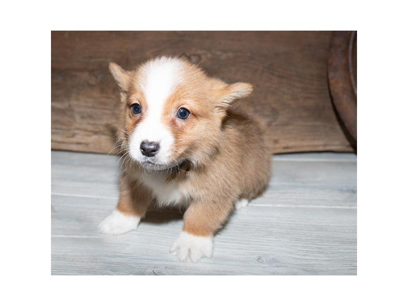 Pembroke Welsh Corgi-Male-Red Sable-2520507-Petland Kennesaw