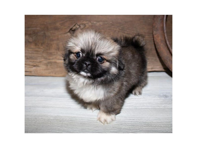 Pekingese-Male-Cream Sable-2520509-Petland Kennesaw