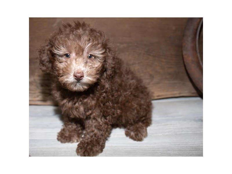 Miniature Poodle-DOG-Male-Chocolate-2527240-Petland Kennesaw