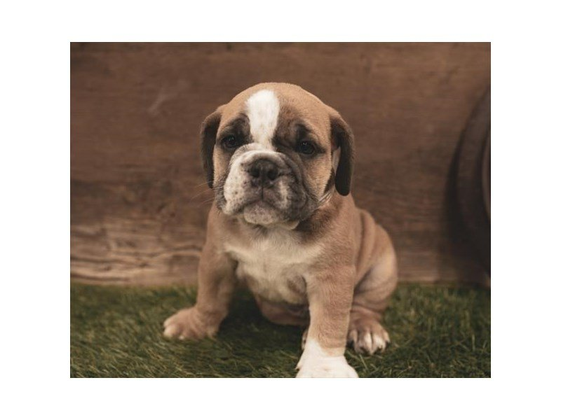 English Bulldog-Male-Blue Fawn-2461154-Petland Kennesaw