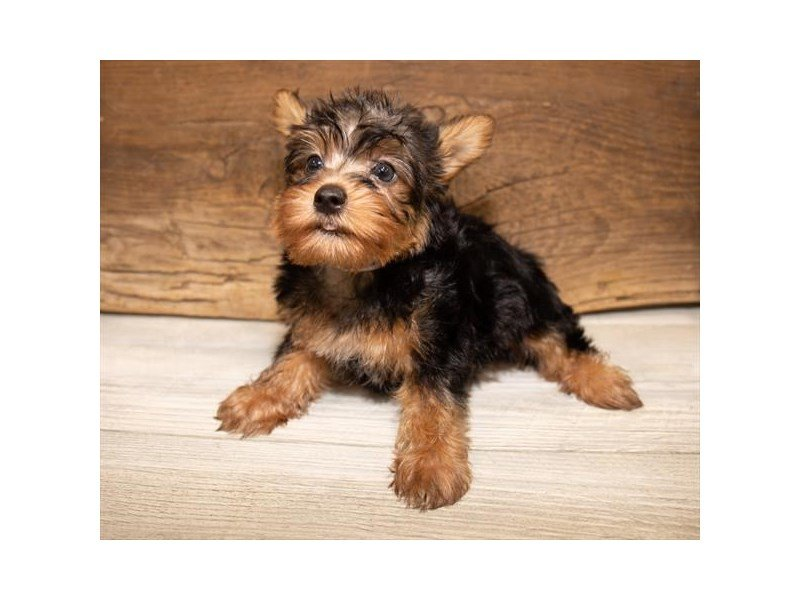 Silky Terrier-Female-Black / Tan-2534359-Petland Kennesaw