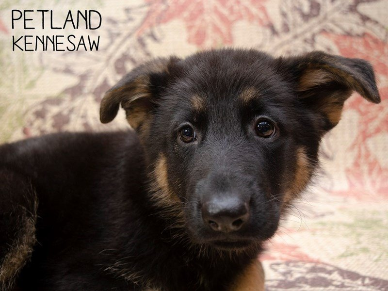 German Shepherd-DOG-Male-Black Tan-2537311-Petland Kennesaw