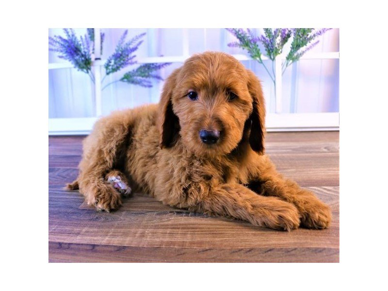 Goldendoodle-Female-Red-2551433-Petland Kennesaw