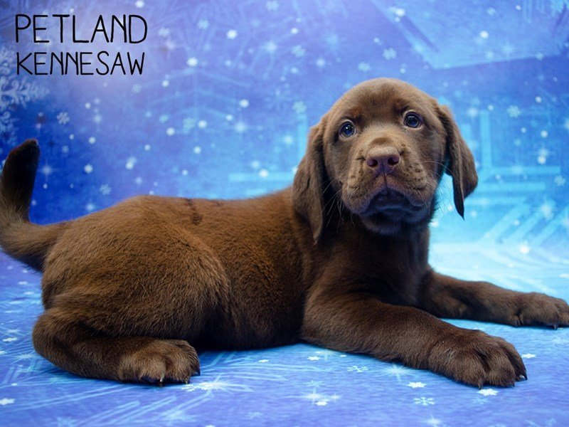 Labrador Retriever-Male-Chocolate-2553649-Petland Kennesaw