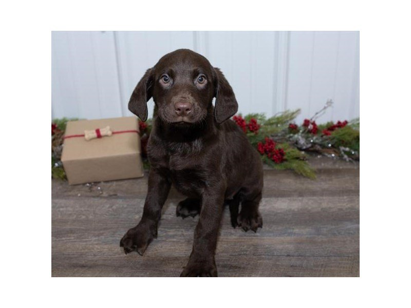 Labrador Retriever-Female-Chocolate-2564490-Petland Kennesaw