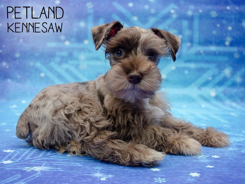 Miniature Schnauzer-DOG-Male-choc. merle-2561181-Petland Kennesaw