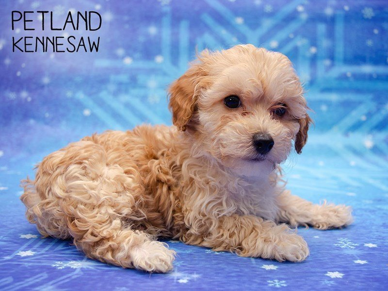 Miniature Poodle-DOG-Male-RED-2561226-Petland Kennesaw