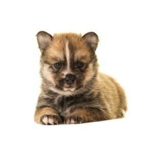 Pomsky Puppies For Sale Breed Info Petland Kennesaw