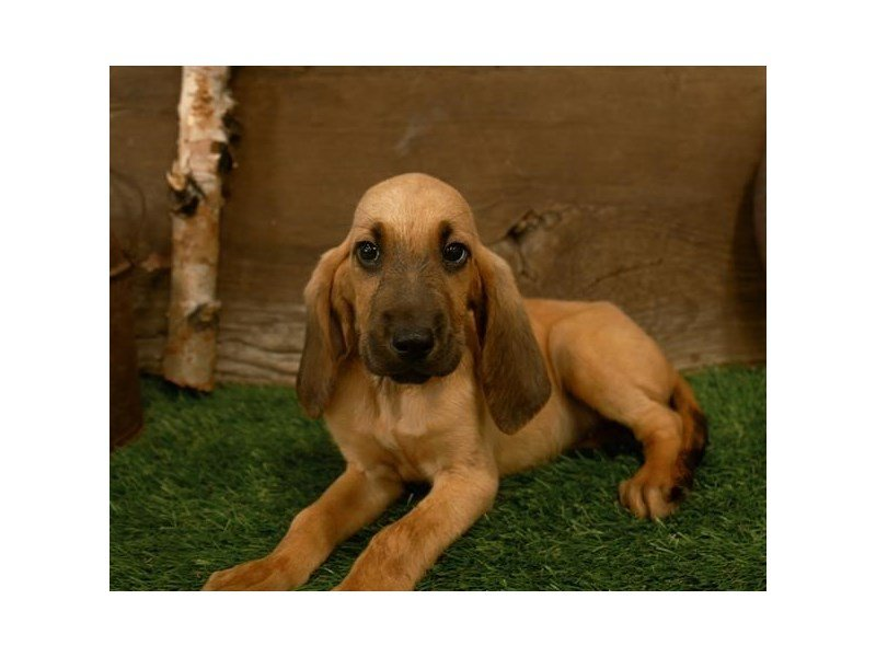 Bloodhound-Female-Red-2500610-Petland Kennesaw
