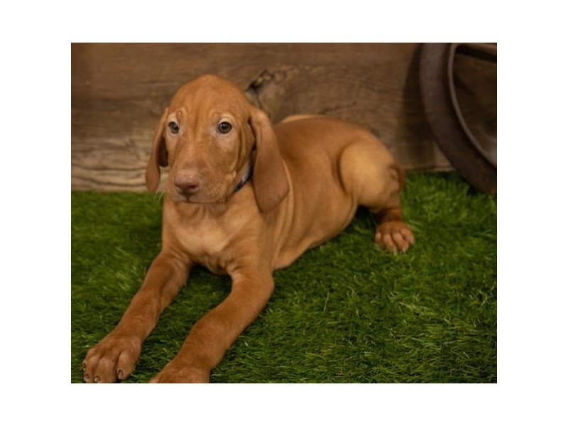 Vizsla-Male-Red-2500611-Petland Kennesaw
