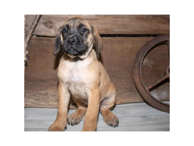English Mastiff-Female-Fawn-2527336-Petland Kennesaw