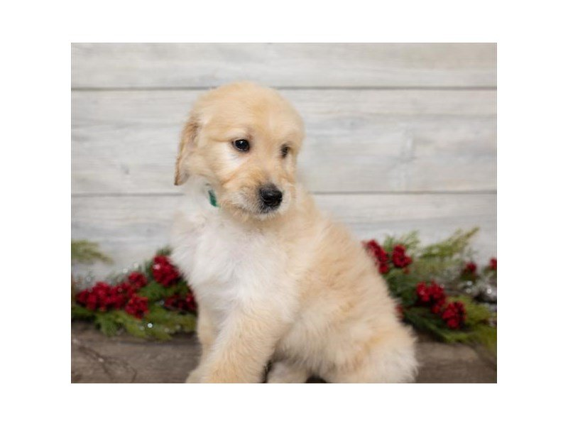 Goldendoodle-Female-Golden-2558098-Petland Kennesaw