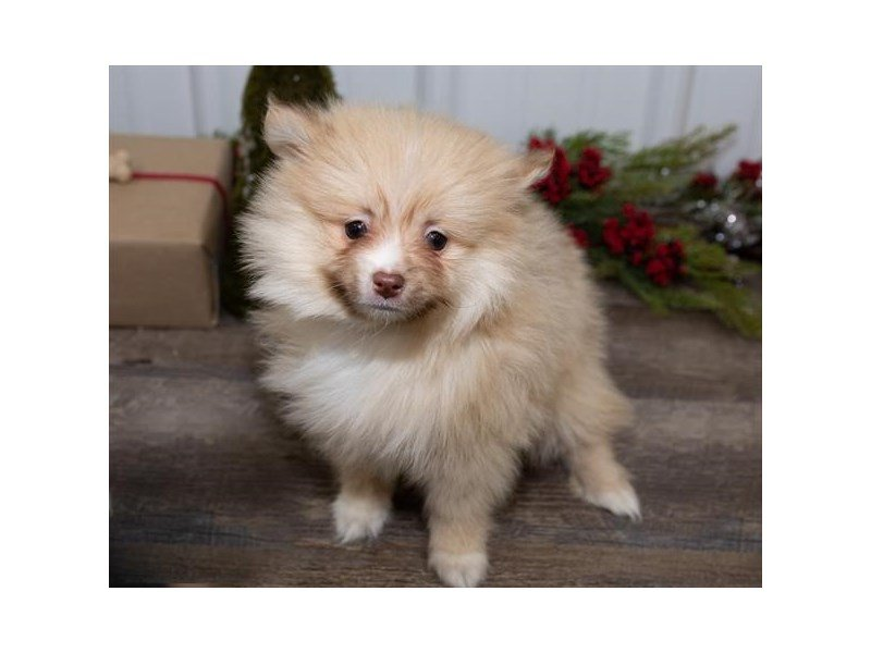 Pomeranian-Male-Orange-2564463-Petland Kennesaw