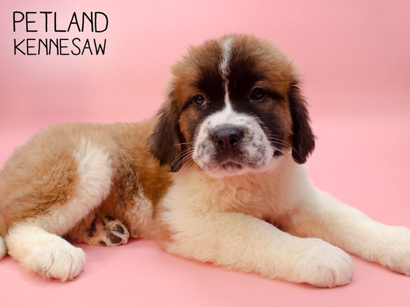 Saint Bernard-Female-Sable & White-2588493-Petland Kennesaw