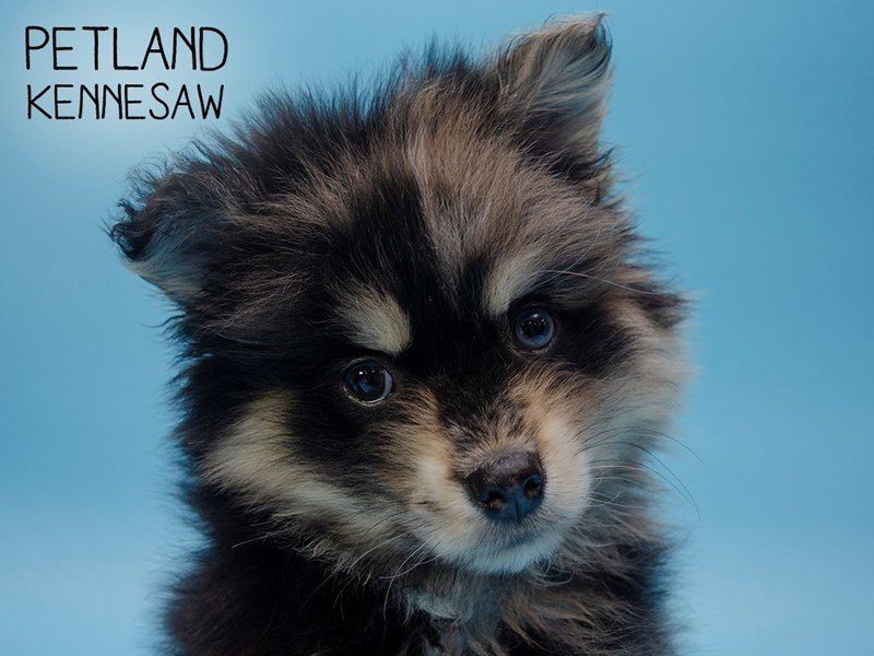 Pomsky-Male-Black / Tan-2600400-Petland Kennesaw