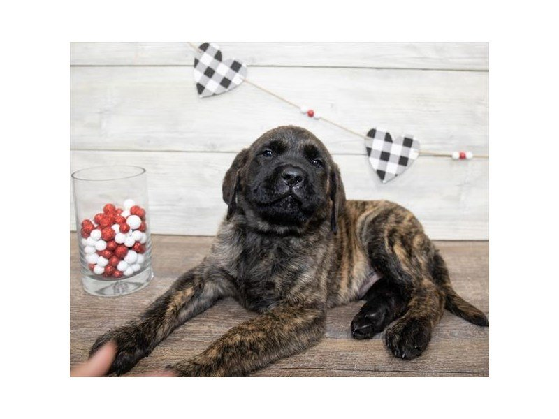 English Mastiff-Male-Brindle-2607664-Petland Kennesaw
