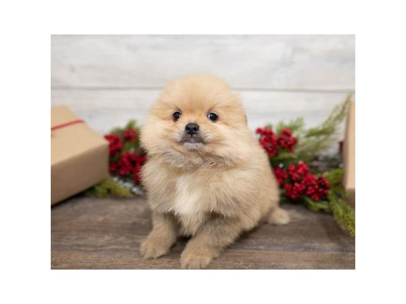 Pomeranian-Male-Orange Sable-2551419-Petland Kennesaw