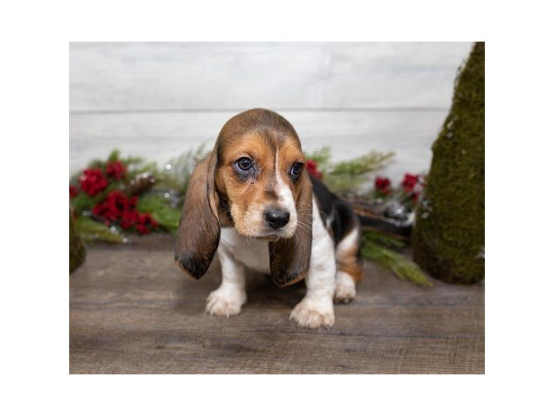 Basset Hound-DOG-Female-Black White / Tan-2558105-Petland Kennesaw