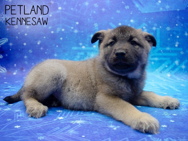 Norwegian Elkhound-Male-Silver-2558148-Petland Kennesaw