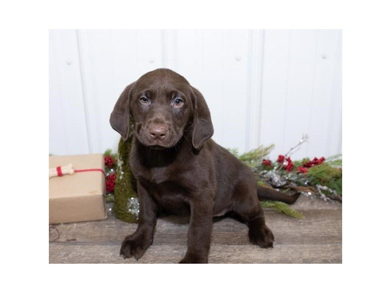 Labrador Retriever-Female-Chocolate-2564489-Petland Kennesaw