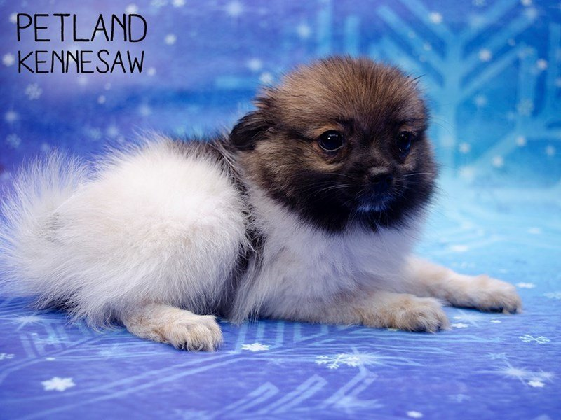 Pomeranian-Female-Brown/White-2572223-Petland Kennesaw