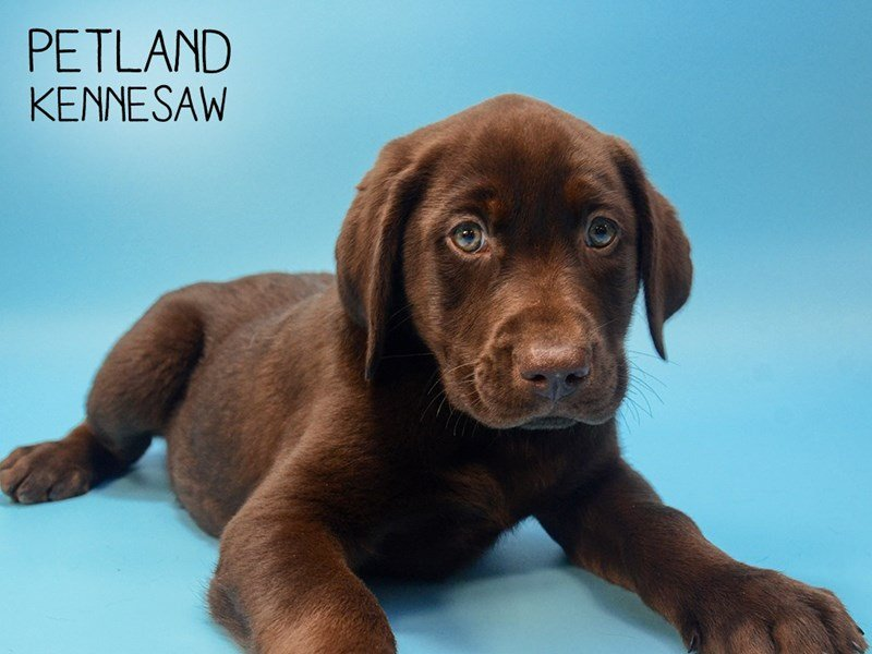 Labrador Retriever-Male--2583976-Petland Kennesaw