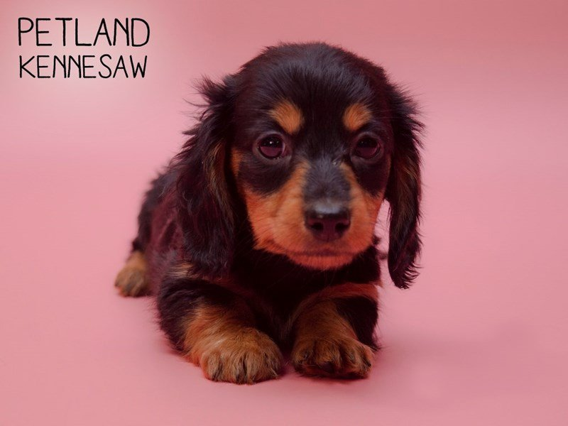 Dachshund-Female-Black / Tan-2583959-Petland Kennesaw
