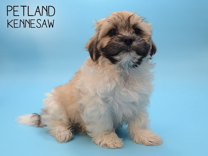 Teddy Bear-Male-Brown and White-2593140-Petland Kennesaw