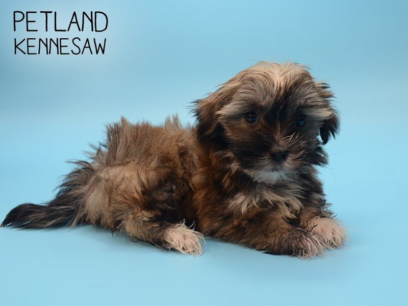Havanese-Male-Brown and White-2593131-Petland Kennesaw