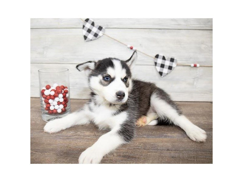 Siberian Husky-Male-Black / White-2607714-Petland Kennesaw