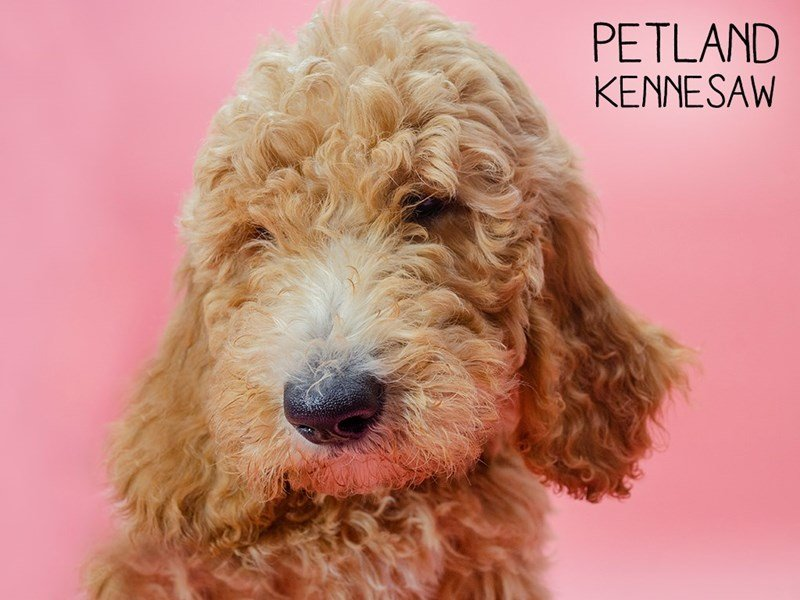 Goldendoodle-Female-RED-2595815-Petland Kennesaw