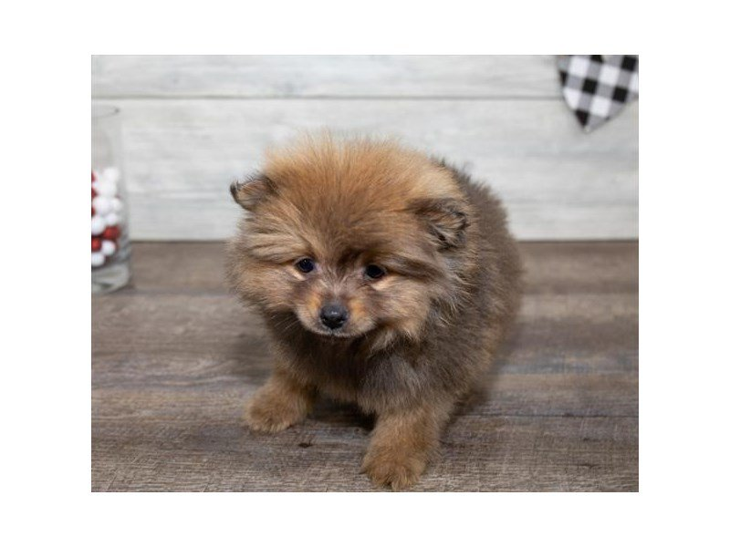 Pomeranian-Male-Red Sable-2614772-Petland Kennesaw