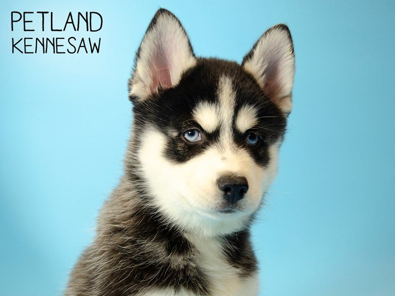 Pomsky-Male-BLK  WHITE-2611045-Petland Kennesaw