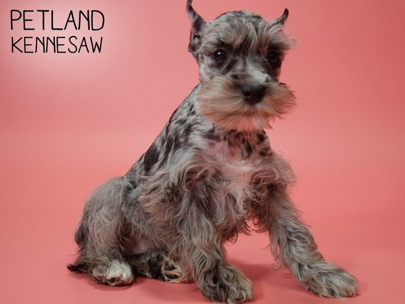 Miniature Schnauzer-Female-BLUE MERLE-2617871-Petland Kennesaw