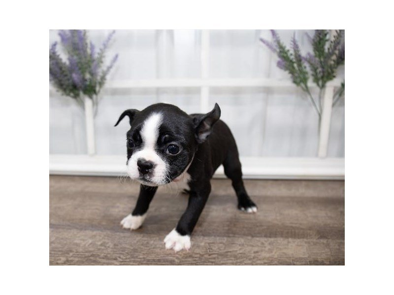 Boston Terrier-Male-Black / White-2629262-Petland Kennesaw
