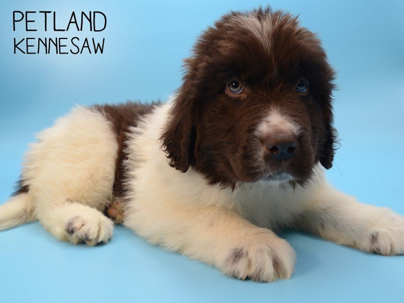 Newfoundland-Male-Chocolate White-2588371-Petland Kennesaw