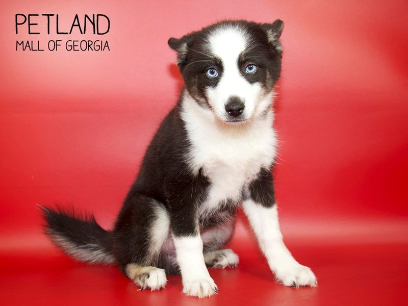 Pomsky-Male-Black/White-2572235-Petland Kennesaw
