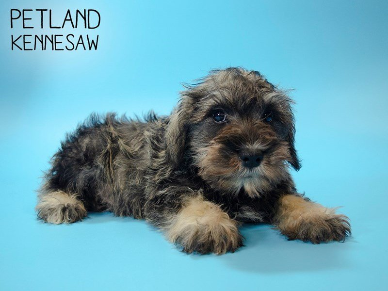 Miniature Schnauzer-Male-SALT PEPPER-2603777-Petland Kennesaw