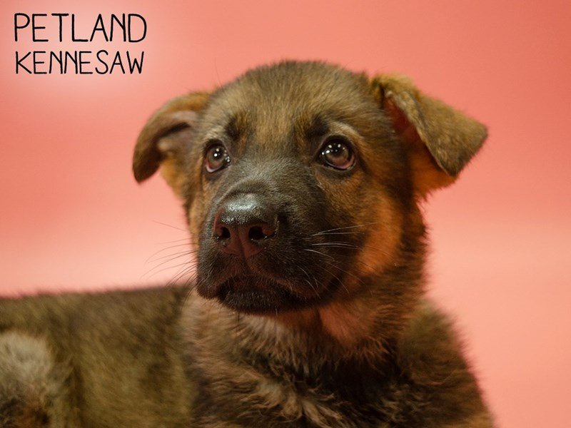 German Shepherd-Female-Black and Tan-2624873-Petland Kennesaw