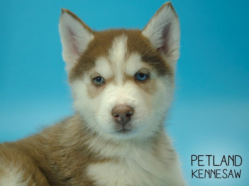 Siberian Husky-Male-Red White-2624785-Petland Kennesaw