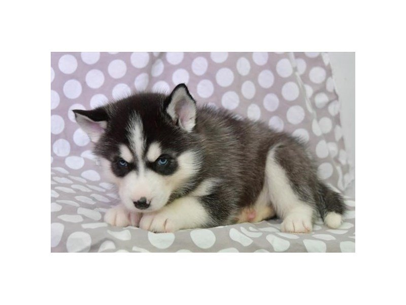 Siberian Husky-Female-Black / White-2636646-Petland Kennesaw