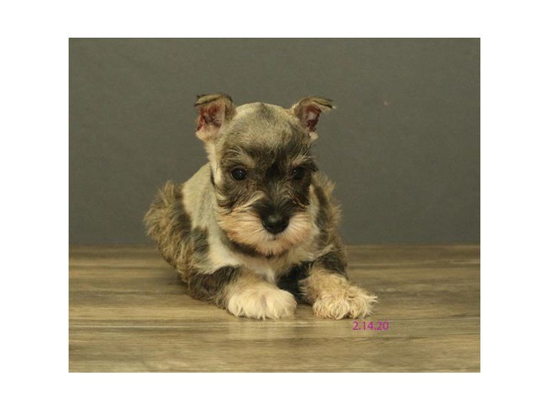 Miniature Schnauzer-Female-Salt / Pepper-2636653-Petland Kennesaw